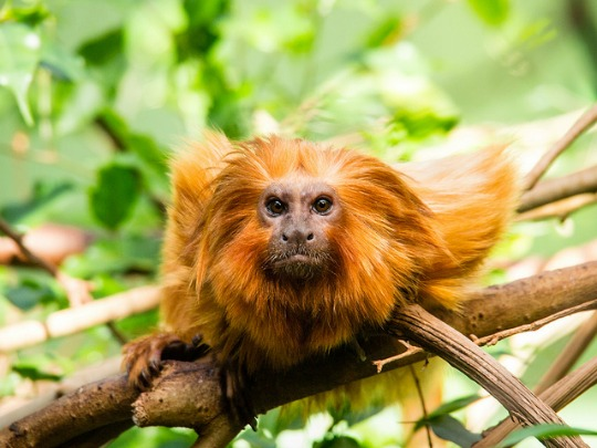 A golden lion tamarin, which is listed as endangered on the IUCN Red List of Threatened Speacies. (Photo: Jo Christian Oterhals/cc/flickr)
