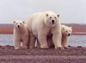 Polar Bear Sow and Cubs along Beaufort Sea. Image-USFWS
