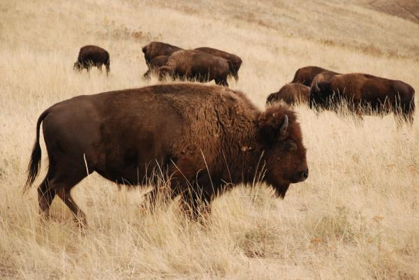The U.S. Department of the Interior has released a plan to preserve and restore bison populations to the wild.