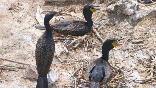 Three cormorants on East Sand Island | credit: Vince Patton