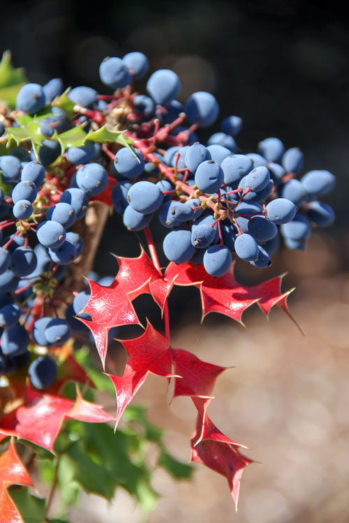 Oregon-Grape is used in herbal remedies for infections and to improve digestion and live function. Photo/ Brandi N. Montreuil, Tulalip News
