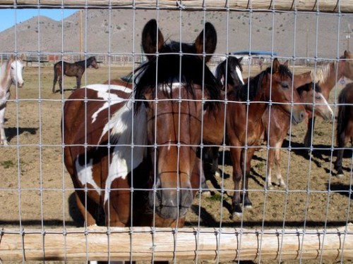 This 2013 file photo shows some of the hundreds of mustangs the U.S. Bureau of Land Management removed from federal rangeland. (Photo: Scott Sonner/AP file photo )