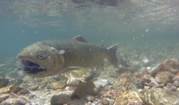 A chinook salmon photographed in the Snake River in 2013. That year's run set records. Biologist aren't sure exactly why fall chinook runs have been so high in recent years. | credit: Aaron Kunz