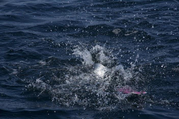 A salmon jumps in the Pacific Ocean. (Justin Steyer/KPLU)