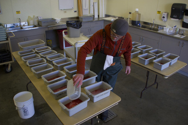 The Lower Elwha Klallam Tribe conducts its annual coho salmon spawning at the House of Salmon hatchery, November 2014.