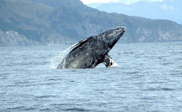 A gray whale breaching in the Pacific Ocean.Courtesey of NOAA