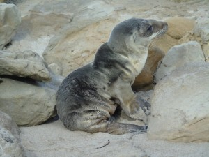 An emaciated sea lion pup in California's Channel Islands.NOAA Fisheries/Alaska Fisheries Science Center