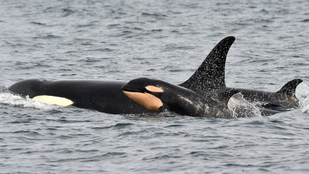 In this photo taken March 30, 2015, and provided by the Pacific Whale Watch Association, a newborn orca whale swims alongside an adult whale, believed to be the mother, in the Salish Sea waters off Galiano Island, British Columbia. Jeanne Hyde/Maya's Legacy Whale Watching/AP Photo
