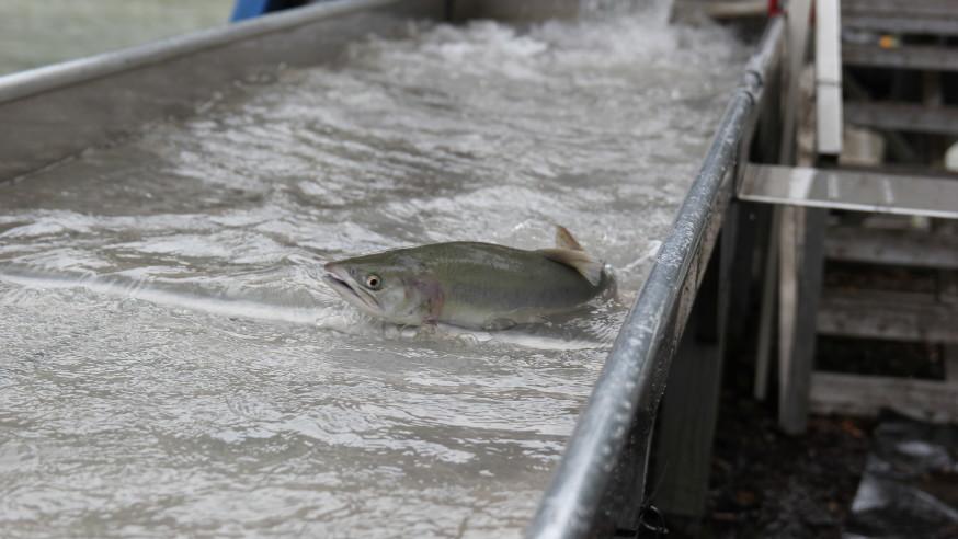 salmon_pacific-blob