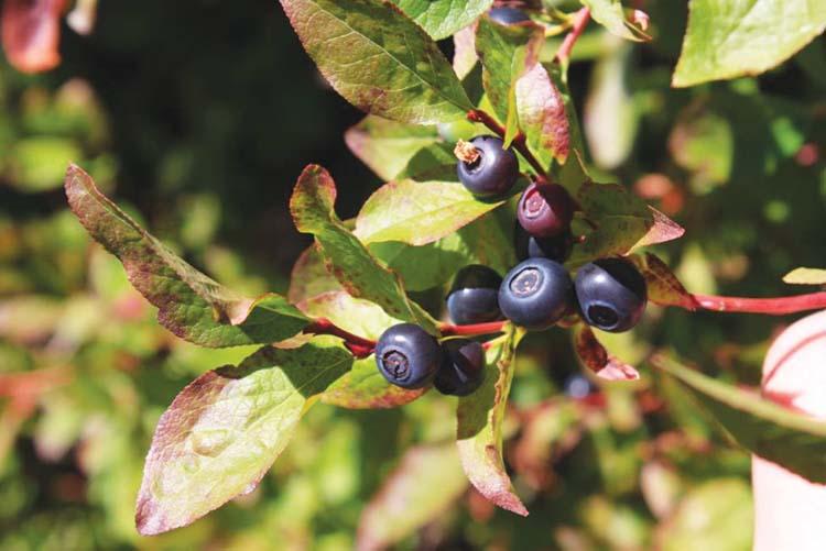 huckleberry-3
